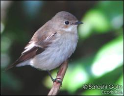 マダラヒタキという鳥をご存じですか? | テクニカルノート | 株式会社 ...
